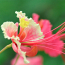 pfauenblume33_klein